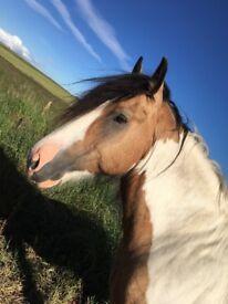Cob stallion for loan