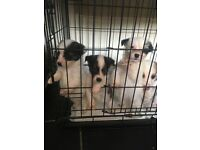 Chihuahua teacup x mini Jack Russell puppies (tiny)