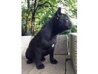 Fully vaccinated 3/4 french bulldog cross 1/4 staffy