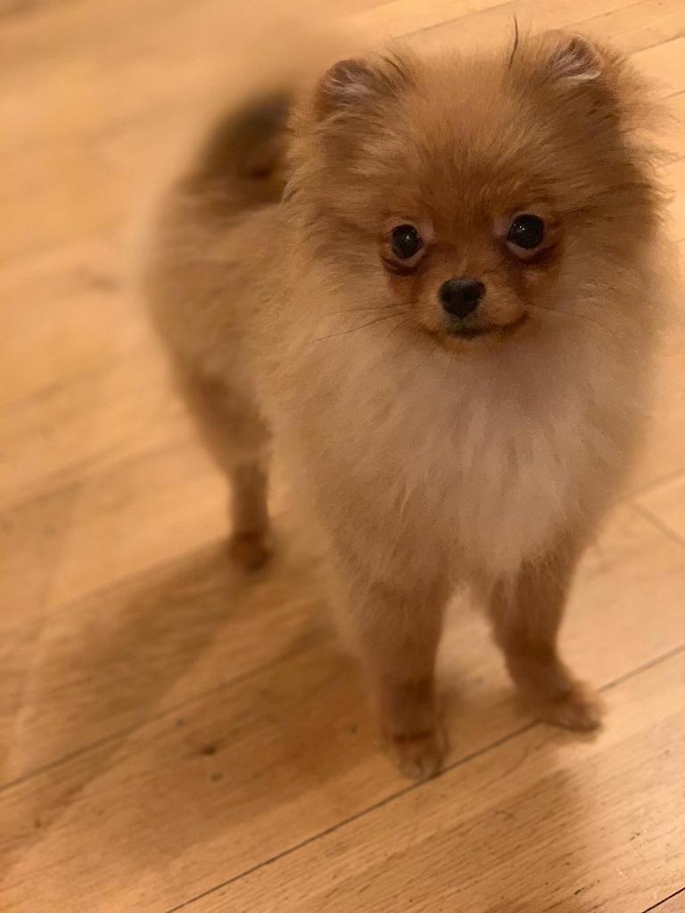 Pomeranian Puppy | in Dudley, West Midlands | Gumtree