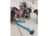 French bulldog kc reg puppies