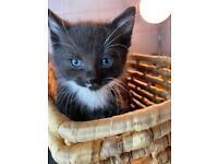 blue eyes black fluffy kitten
