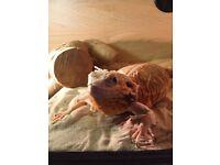 Female silkback breadie dragon lizard