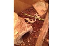 2 6 month crested gecko and set up