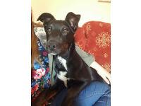 Border Collie X Huntaway Puppy (UPDATED)