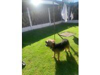 Border terrier bitch