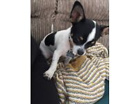 Dougie. 5 month old male puppy for sale