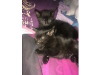 Two female one male beautiful black kittens 8 weeks ready to leave now