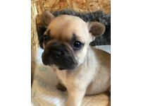 Lovely 4 Fawn French bulldogs For sale....