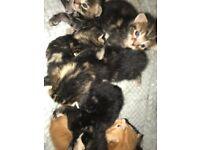 7 beatitful kittens for sale