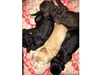 Beautiful DNA PRA clear cockapoo puppies