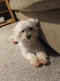 3 yr Old Maltese in need of new home