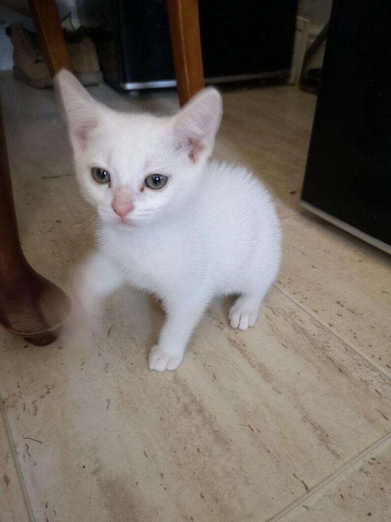 24b4059ad2 2 beautiful white kitten £60