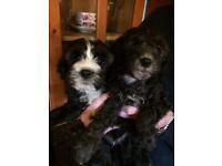 Tibetan Terrier x Miniature Poodle Puppies (Toodles)