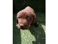 Labrador Puppies Chocolate/Gold 'wormed and 1st Jabs micro chipped Llanelli £400