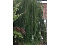 20 Japanese Equisteum Horsetail Bamboo Pond Marginal Plants