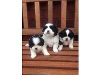 Shih Tzu puppy's