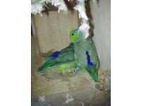2 parrotlets