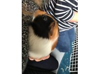 4 male guinea pigs (8 weeks) to be sold in pairs