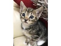 Gorgeous tabby boy kitten 9 weeks