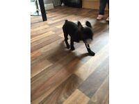 7month old female French bulldog black and white with blue tint