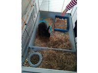 Mini rabbit boy for sale