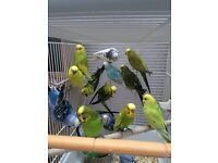 Beautiful budgies between 4 to 11 months