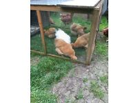 Gold silkie hens