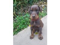 Doberman puppies!!