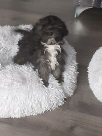 Shihpoo boy puppy fully vaccinated ready now