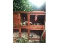 Four Ferrets for Sale and Hutch