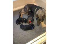 KC registered pedigree German shepherd puppy