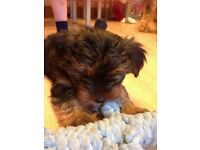 full pedigree yorkshire terrier pup