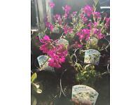 Perennial Plant - Arabis Spring Charm
