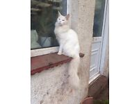 Pedigree pure white maine coon