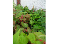 Begonias ready for planting outdoors into Pots Baskets and Tubs £1 each