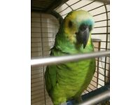 Gorgeous, blue fronted amazon parrot with large cage 6 years old