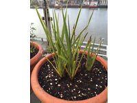 9 x young Yukka plants with more on the way. Enjoyable home propagation hobby