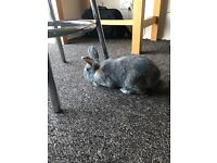 13 week old rabbit for sale with cage and accessories
