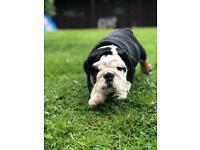 English Bulldog Pups Last Boy