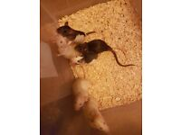 8 week old male rats for sale