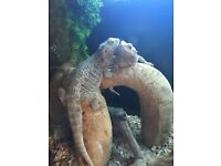 2 Female Bearded Dragons for sale