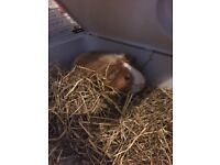 1 year old guinea pig and cage