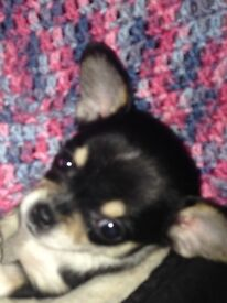 stunning chihuahua for sale
