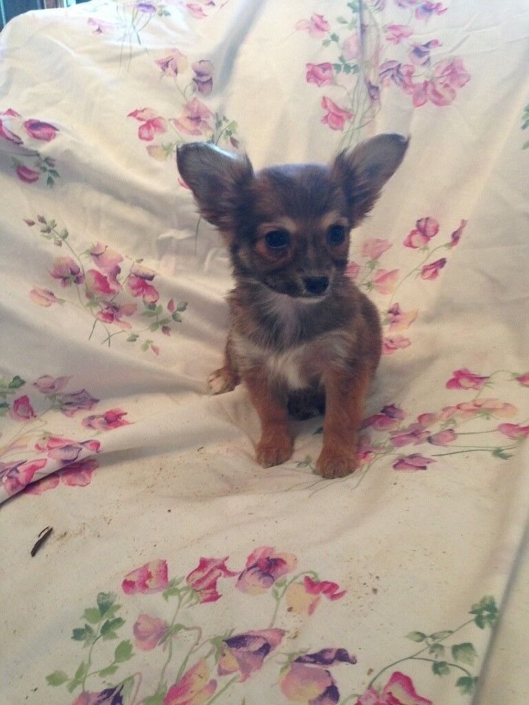 Gold Dust Yorkie X Chihuahua Last One Left Due To Time Waster
