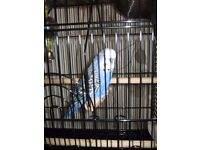 LOVELY BLUE/LILAC TALKING BUDGIE - BORN 1 JUNE 2017