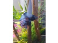 Mail fantail betta fish with marina 360 tank with tons of acceocries