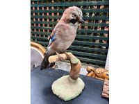 Taxidermy Jay Bird - Taxidermy Bird - Good Condition - Reduced
