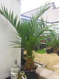 Hardy palm tree