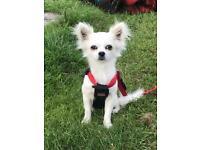 Beloved white pedigree Chihuahua